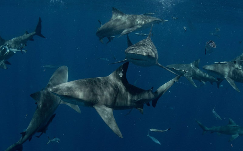 An image of numerous sharks swimming together in the islands of the Bahamas with Miami Shark Tours.