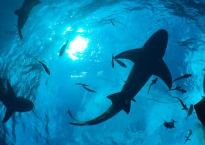 An image of sharks in the bahamas from below.