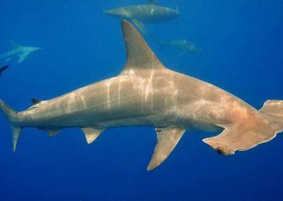 An image of a gorgeous hammerhead shark off the coast of Florida.