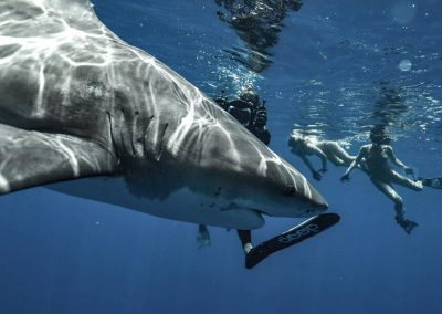 An image of divers in the water with a beautiful bull shark off florida.