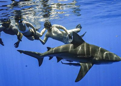 An image of a bull shark swimming with miami shark tours guests on a florida shark diving adventure.