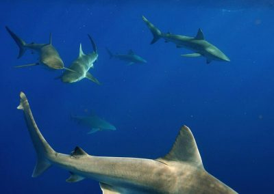 An image of sharks swimming in gorgeous clear blue ocean.
