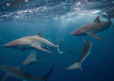 An image of sharks under rough water on a miami shark tour.