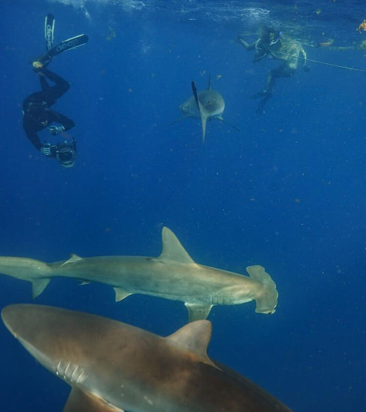 An image of a group of divers with sharks in the water off of florida on a miami shark tour.