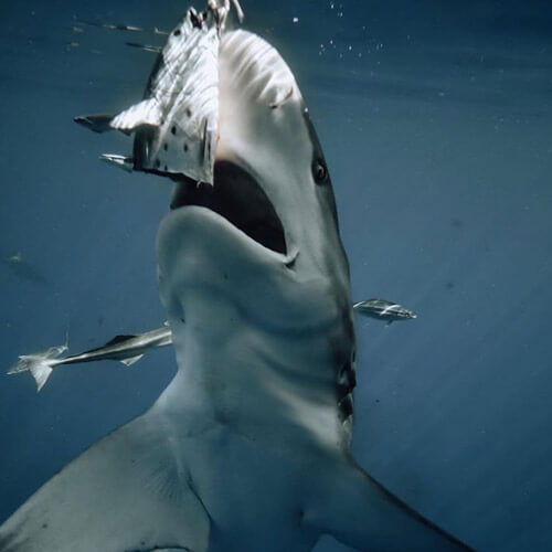 An image of a blacktip shark hitting a piece of bait on a miami shark tour adventure.