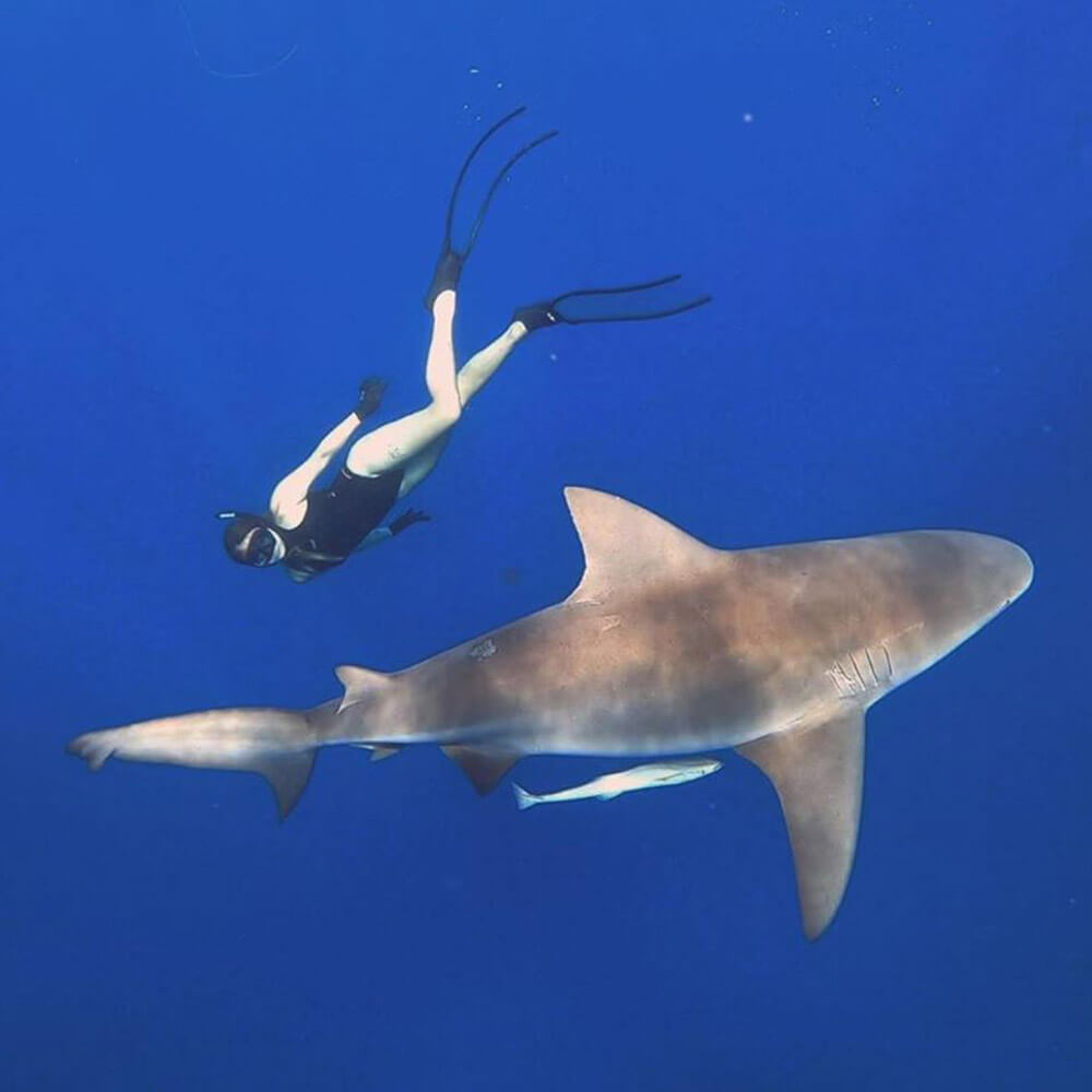 An image of a beautiful shark off the coast of Florida on a miami shark tour.